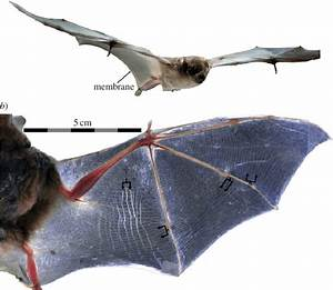 Bat Wing Membranes Support And Deform In Response To