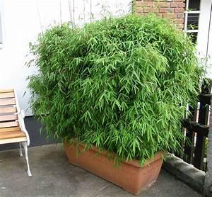 Kübel Bepflanzen Winterhart : bambus pflanzenshop bambus als k belpflanze auswahl und ~ Michelbontemps.com Haus und Dekorationen
