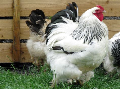 asiatic poultry breeds modern farming methods