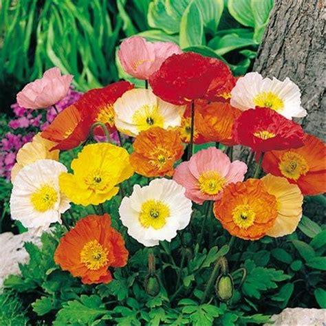 jual benih bunga poppy iceland mixed tahan panas