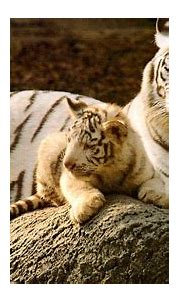 Baby White Tiger Wallpaper (57+ pictures)