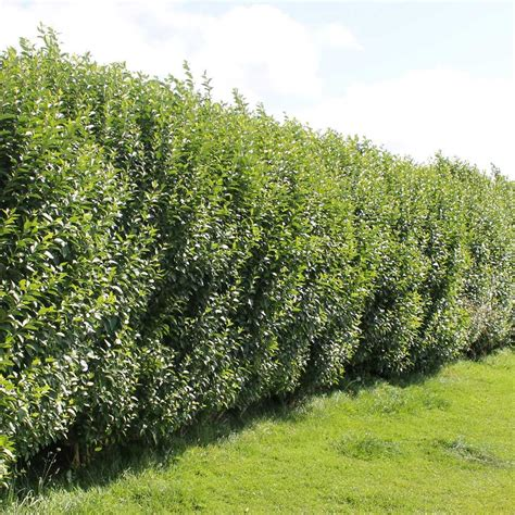 hedge bushes privet hedge plants ligustrum ovalifolium hedging