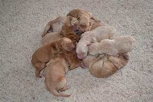 AKC Golden Retrievers: New born puppies!