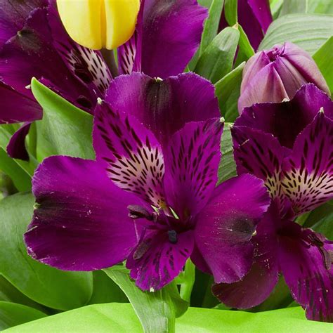 alstroemeria  noble micro princess lily purple