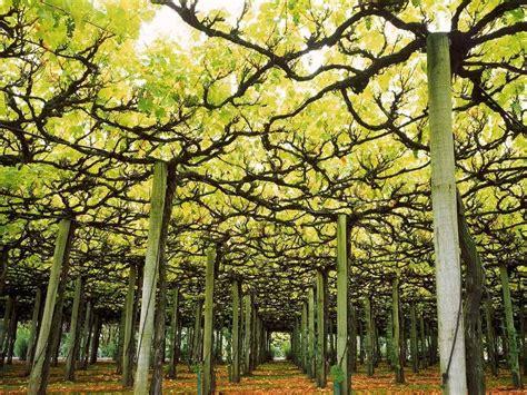 Ornamental Garden Trellis by Ornamental Grape Vines Pergola Search