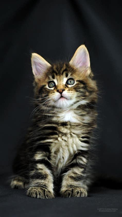 gambar wallpaper kucing kumpulan wallpaper