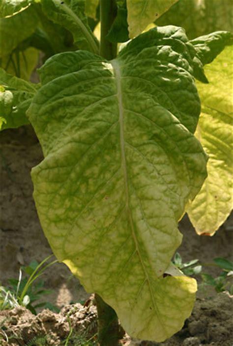 solanaceae plant family britannicacom