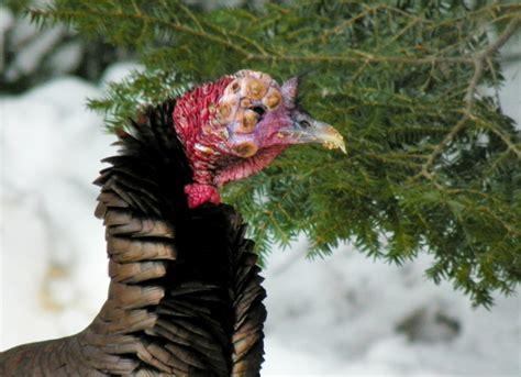 virus causing deformities  maine turkeys portland