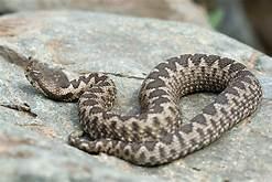 Ohia snake