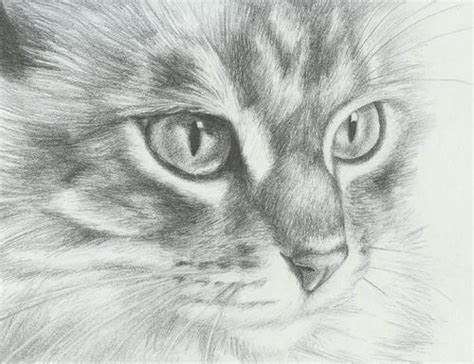 drawn cat sketch pencil   color drawn cat sketch