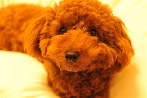 Toy Poodle  E   E  A E   E  Bc E   E  Ab  E  B E  A E  B E  A Flickr P O Sharing
