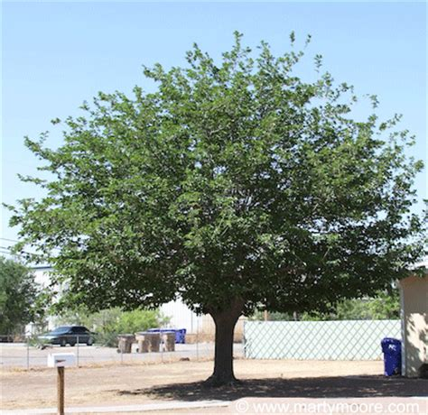 fruitless mulberry trees for sale mulberry trees fast growing shade trees for the desert southwest garden sungardensinc com