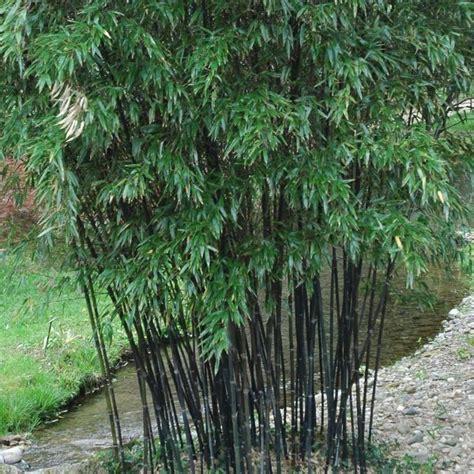 bambou noir en pot phyllostachys nigra bambou noir peu tra 231 ant