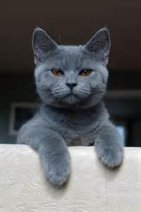 blue cat aiko shorthair by pistons on deviantart