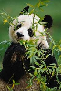 Giant pandas, Pandas and Bamboo on Pinterest