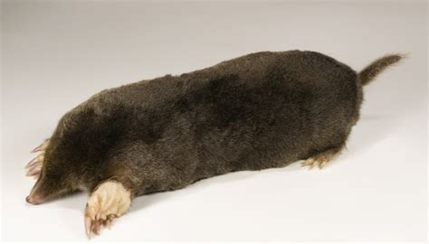 how to kill a mole the guide to getting rid of common attic household pests