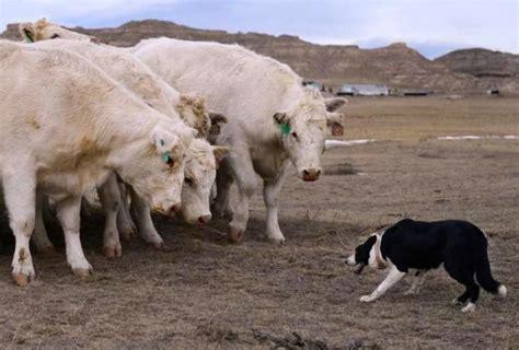 herding dogs move cattle  denvers national western