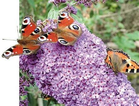 Der Garten Der Pfade Die Sich Verzweigen by Geh 246 Lze Buddleia Zieht Schmetterlinge An