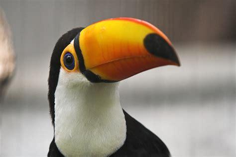 Toucan - Simple English Wikipedia, the free encyclopedia
