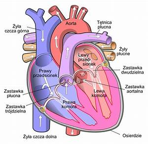 File Diagram Of The Human Heart Pl Svg
