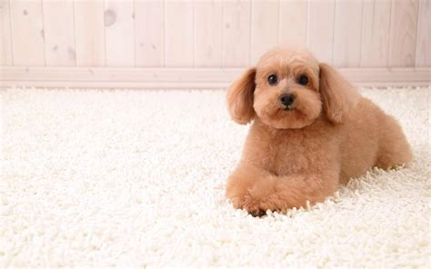 Stain Proof Carpets by Best Carpet For Pets Ideas