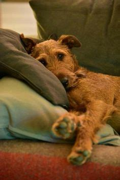 irish terriers images   irish terrier