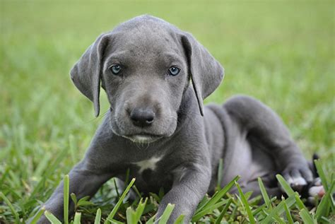 Dogs Grey Puppies with Blue Eyes