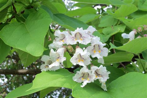 tree with big leaves and white flowers two trees with heart shaped leaves but different flowers tbr news media