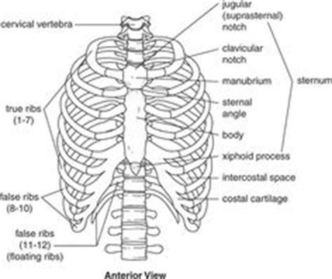It enables expansion of the chest cavity so that the lungs can expand and breathe in oxygen. 22 Best Relevant Anatomy Of Pelvis And Spine images ...