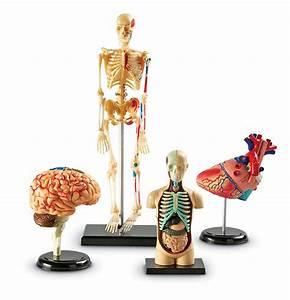 Human Body Anatomy Model Heart Brain Skeleton Organs 4d