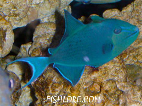 niger triggerfish care size life span tank mates breeding