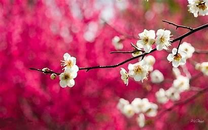 Cherry Blossom Blossoms Wallpapers Inn