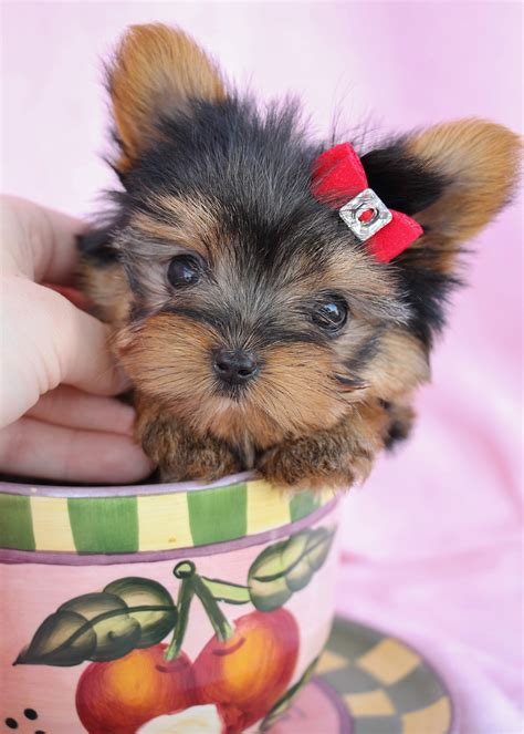 Delightful Teacup Yorkshire Yorkie Terrier Puppies For Sale Teacups Puppies Boutique