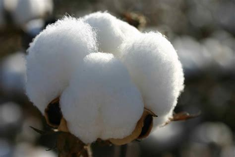 How Denim Is Made Cotton And Its Benefits