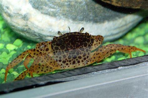 aquarium crevettes eau douce aquarium eau douce crabe