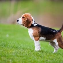 beagle in appartamento beagle breed health