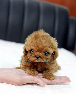 Red Teacup Poodle Puppy | Teacup Poodles | Pinterest