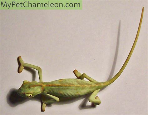 Anatomy Of A Chameleon  My Pet Chameleon. Electrical Room Signs Of Stroke. Railroad Signs Of Stroke. Nonverbal Student Signs. Objects Signs. Report Signs. Early Warning Signs Of Stroke. Human Disease Signs Of Stroke. Physical Cause Signs Of Stroke