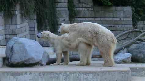 polar bears mating paarungszeit fuer lars vilma youtube