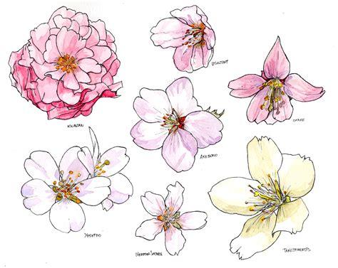 Sakura Flower Draw Drawn Cherry Blossom Sakura Tree