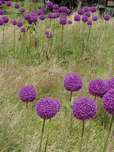 Allium Pflanzen Im Frühjahr : sch ne allium blumen ganz einfach selber machen allium in eine sommerwiese pflanzen diy ~ Yasmunasinghe.com Haus und Dekorationen