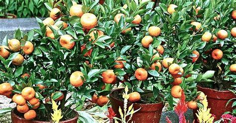 merawat tanaman aneka tanaman hias tips