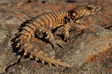 Armadillo Girdled Lizard For Sale