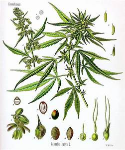 Discussion On The Classification Of Cannabis As An Achene