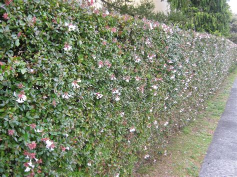 HEDGES & SHADE PLANTS - The Trees & Flowers of Whangarei.