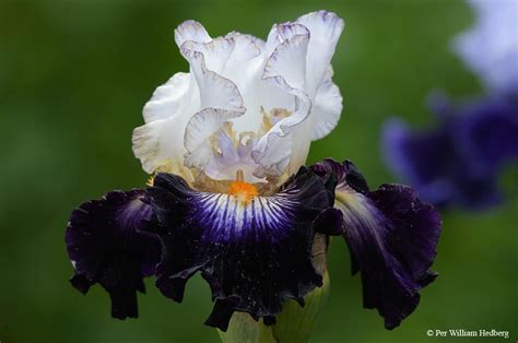 iris flower care irises plant care and collection of varieties garden org