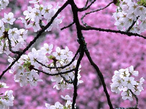 cherry blossom wallpapers hd hd desktop wallpapers  hd