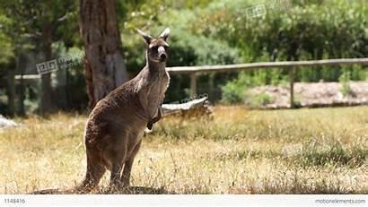 Kangaroo Footage Fish Australia Similar