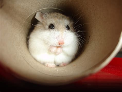 roborovski hamster roborovski hamster i am so tiny cdrussorusso flickr
