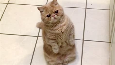 Cat Standing On Two Feet by George The Cat Stands On Two Legs Like A Human Today Com